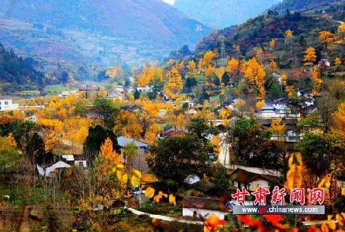 初冬时节,甘肃陇南徽县嘉陵镇田河村掩映在一片金黄色的银杏树中,该村